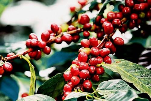 Giá cà phê hôm nay 18/10: Dự báo thời gian tới sẽ tăng